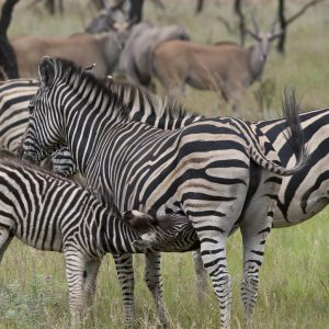 Jamila Lodge Zebras