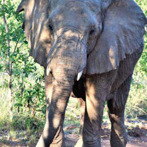Jamila Lodge Charging Elephant
