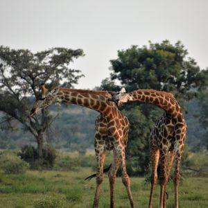 Jamila Lodge Dancing Giraffes