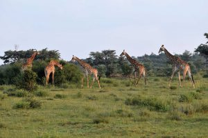 Jamila Lodge Giraffes