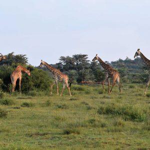 Jamila Lodge Giraffes