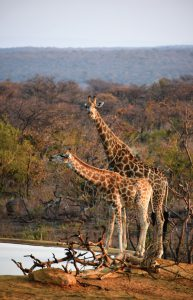 Jamila Lodge Grazing Giraffes