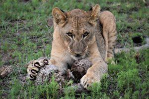 Jamila Lodge Lion Cub