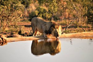 Jamila Lodge Lion Drinking at the Waterhole