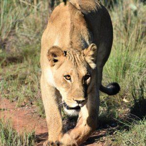 Jamila Lodge  Lioness