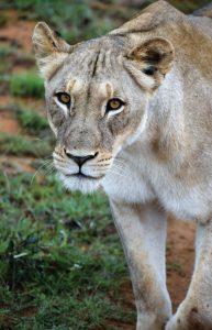 Jamila Lodge Lioness closeup