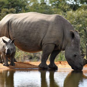Jamila Lodge Mother and baby Rhino Drinking