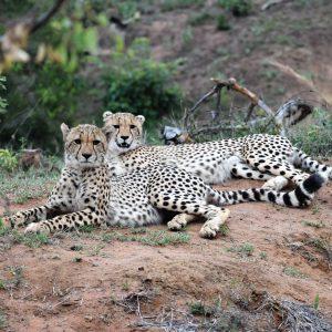 Jamila Lodge Resting Cheetahs