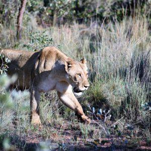 Jamila Lodge Stalking Lioness