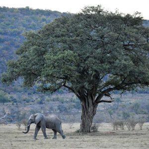 Jamila Lodge Strolling Elephant