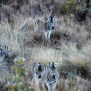 Jamila Lodge Travelling Zebras
