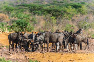 Jamila Lodge Wildebeest at the waterhole