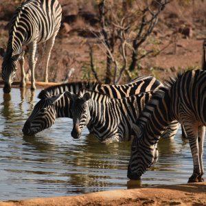 Jamila Lodge Zebras Drinking at the Waterhole
