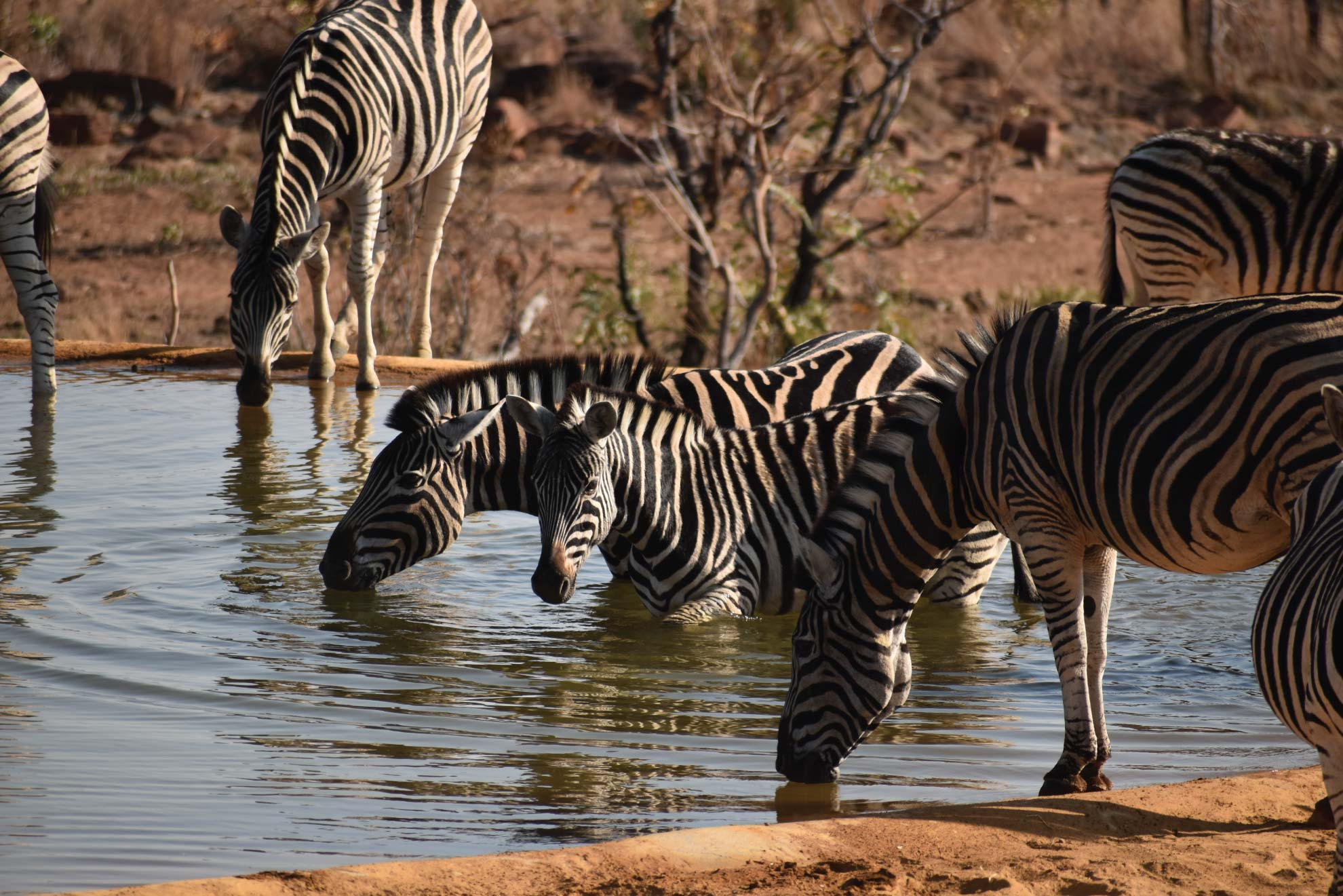 Jamila Lodge Zebras Drinking at the Waterhole