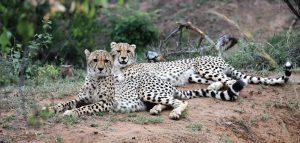 Jamila Lodge - Home Banner Cheetahs