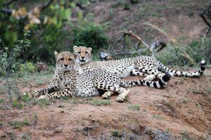 Jamila Lodge Cheetahs